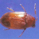 Adult Queensland pine beetle