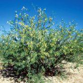 Mesquite (Prosopis velutina) plant