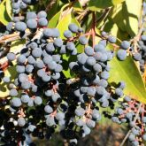 Broad-leaf privet fruit and leaves