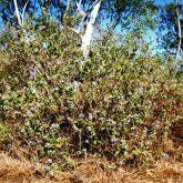 Calotrope plant
