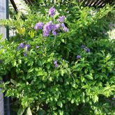Duranta plant with flowers