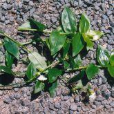 Wandering jew leaf