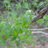 Bridal creeper leaf