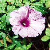 Coastal morning glory flower