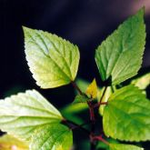 Crofton weed leaf