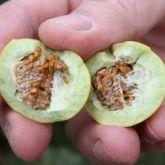 Tropical soda apple inside of fruit