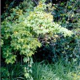 White passion fruit smothering native vegetation