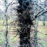 Honey locust spikes