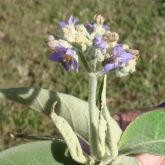 Wild tobacco weed flower