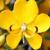 Easter cassia flower close-up