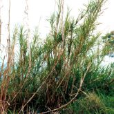 Elephant grass plant