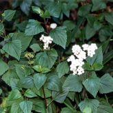Crofton weed flower