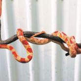 American corn snake in hand