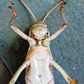 Spur-throated locust spur.jpg
