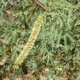 Mesquite (Prosopis pallida) flower