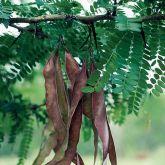Honey locust pods