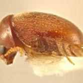 Adult cigarette beetle