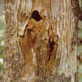 Giant wood moth exit hole