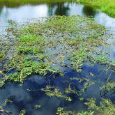 Water mimosa infestation
