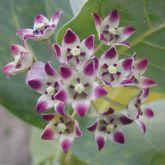 Calotrope flowers