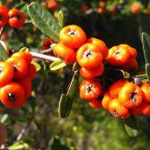 Firethorn fruit