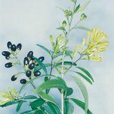 Green cestrum flower and fruit