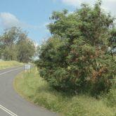 Leuceana plant along roadside