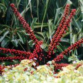 Umbrella tree flowers close-up