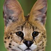 African serval close-up