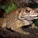 Asian spined toad