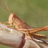 Tan spur-throated locust nymph