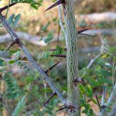 Honey locust stem and spikes