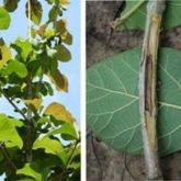 Dieback in new foliage (left) and internal decay (right) caused by pink disease cankers on teak branches