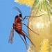 Female sorghum midge