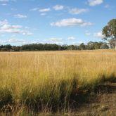 Giant rat's tail grass infestation