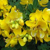 Easter cassia flowers close-up
