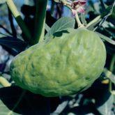 Calotrope fruit
