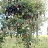Leuceana plant form