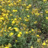 St John's wort plant in flower