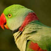 Alexandrine parakeet close-up