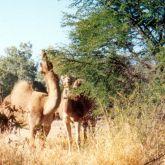 Camels eating prickly acacia