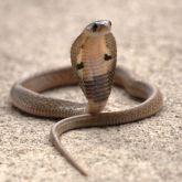 Juvenile Indian cobra