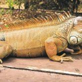 Green iguana crawling