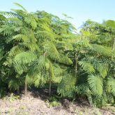 Pennata wattle or cha-om plant