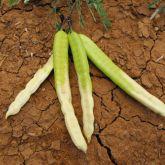Mesquite (Prosopis pallida) pods