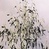 Large swarms of scarab beetles can cause defoliation in eucalyptus canopies