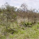 Severe damage in young western white gum plantations showing brown affected leaves