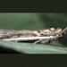 Etiella moth