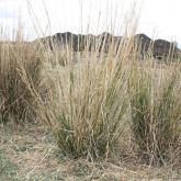 Giant rat's tail grass plants