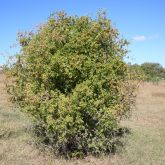 African boxthorn plant